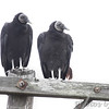 Black Vulture <br /> Road to Falcon State Park <br /> Texas