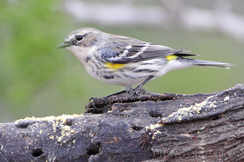 Yellow-rumped Warbler <br /> Falcon State Park <br /> Texas
