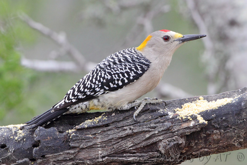 Golden-fronted Woodpecker <br /> Falcon State Park <br /> Texas