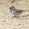 Black-throated Sparrow <br /> Falcon State Park <br /> Texas