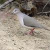 White-tipped Dove   <br /> Salineno <br /> Texas