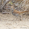 Long-billed Thrasher <br /> Falcon State Park <br /> Texas