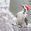 Ladder-backed Woodpecker <br /> Falcon State Park <br /> Texas