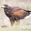 Harris's Hawk <br /> Road to Falcon State Park <br /> Texas