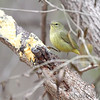 Orange-crowned Warbler <br /> Salineno <br /> Texas