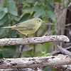 Orange-crowned Warbler <br /> Falcon State Park <br /> Texas