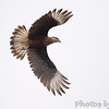 Crested Caracara <br /> Road to Falcon State Park <br /> Texas