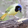 Green Jay <br /> Falcon State Park <br /> Texas