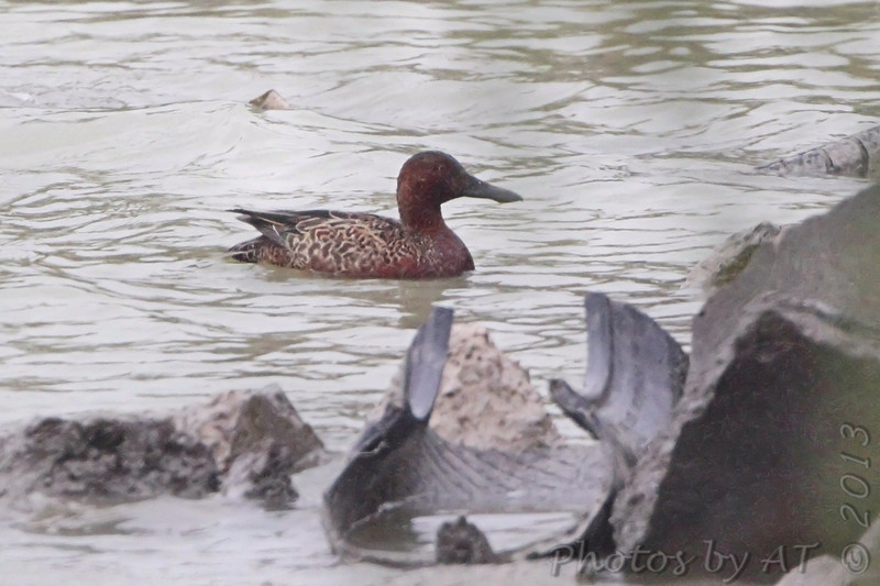 Northern Shoveler/Cinnamon Teal hybrid? <br /> Donna Reservoir <br /> Texas