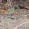 Olive Sparrow <br /> Bentson State Park <br /> Texas