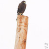Harris's Hawk <br /> Military Hwy <br /> Texas