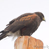 Harris's Hawk <br /> Along Military Hwy <br /> Texas