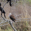 Neotropic Cormorant, White Ibis and Snowy Egret <br /> Estero Llona Grande State Park <br /> Texas