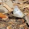 White Peacock<br /> Estero Llona Grande State Park <br /> Texas