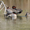Green-winged Teal <br /> Estero Llona Grande State Park <br /> Texas