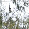 Belted Kingfisher <br /> Estero Llona Grande State Park <br /> Texas