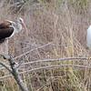White Ibis and Snowy Egret <br /> Estero Llona Grande State Park <br /> Texas