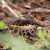 Common Pauraque <br /> Estero Llona Grande State Park <br /> Texas