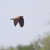 Harris's Hawk <br /> Estero Llona Grande State Park <br /> Texas