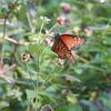 Queen <br /> Estero Llona Grande State Park <br /> Texas