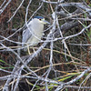 Black-crowned Night-Heron <br /> Estero Llona Grande State Park <br /> Texas