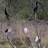 Neotropic Cormorants, White Ibis and Snowy Egrets <br /> Estero Llona Grande State Park <br /> Texas