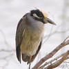 Yellow-crowned Night-Heron <br /> Estero Llona Grande State Park <br /> Texas