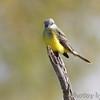 Tropical Kingbird <br /> Estero Llona Grande State Park <br /> Texas