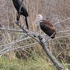 White Ibis <br /> Estero Llona Grande State Park <br /> Texas