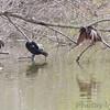 Anhinga and Neotropic Cormorant <br /> Sabal Palm Sanctuary <br /> Texas