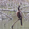 Anhinga <br /> Sabal Palm Sanctuary <br /> Texas