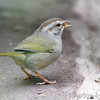 Olive Sparrow <br /> Sabal Palm Sanctuary <br /> Texas