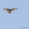 Red-tailed Hawk <br /> Sabal Palm Sanctuary <br /> Texas