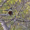 Ringed Kingfisher <br /> Sabal Palm Sanctuary <br /> Texas