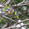 Orange-crowned Warbler <br /> Sabal Palm Sanctuary <br /> Texas