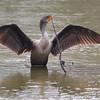 Double-crested Cormorant <br /> Sabal Palm Sanctuary <br /> Texas