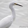 Snowy Egret <br /> Sabal Palm Sanctuary <br /> Texas