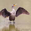 Double-crested Cormorant  <br /> Sabal Palm Sanctuary <br /> Texas