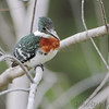 Green Kingfisher <br /> Sabal Palm Sanctuary <br /> Texas