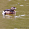 Pied-billed Grebe <br /> Sabal Palm Sanctuary <br /> Texas