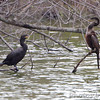 Anhinga and Neotropic Cormorant <br /> Sabal Palm Sanctuary <br /> Texas