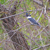 Belted Kingfisher <br /> Sabal Palm Sanctuary <br /> Texas