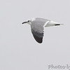 Laughing Gull <br /> South Padre Island <br /> Texas