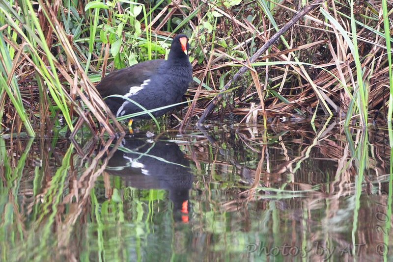 Common Gallinule <br /> (previous Common Moorhen) <br /> South Padre Island <br /> Texas