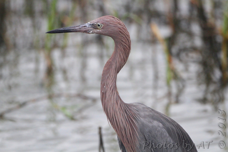 Reddish Egret <br /> South Padre Island <br /> Texas