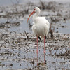White Ibis <br /> South Padre Island <br /> Texas