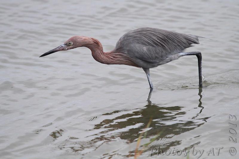 Reddish Egret <br /> South Padre Island <br /> Texas