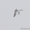 Royal Tern <br /> South Padre Island <br /> Texas