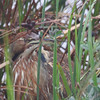 American Bittern <br /> South Padre Island <br /> Texas