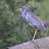 Tricolored Heron <br /> South Padre Island <br /> Texas